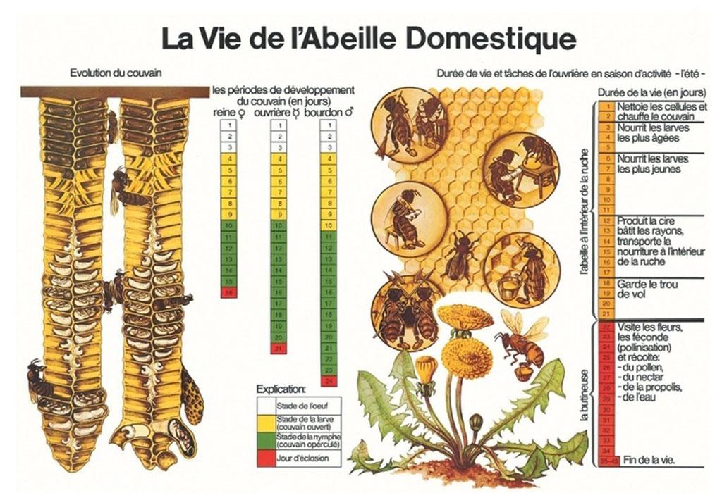 Un tableau résumant la vie des abeilles.