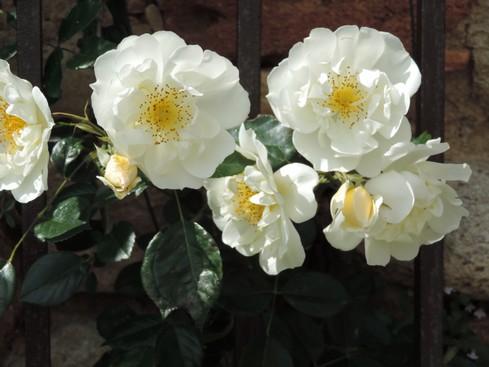 Une autre rose ... blanche.